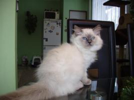 Ragdoll Katze für die Zucht oder als Lieblings