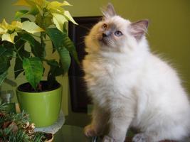 Foto 2 Ragdoll Katze für die Zucht oder als Lieblings
