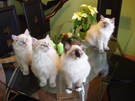 Foto 3 Ragdoll Katze für die Zucht oder als Lieblings