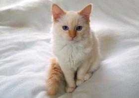Foto 3 Ragdoll Katzen