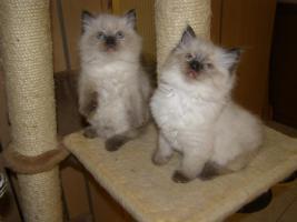 Foto 2 Ragdoll Kitten
