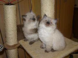 Foto 3 Ragdoll Kitten