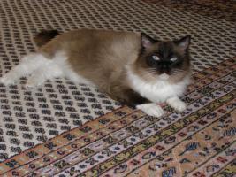 Foto 4 Ragdoll Kitten