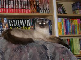 Foto 5 Ragdoll Kitten