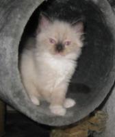Ragdoll-Kitten