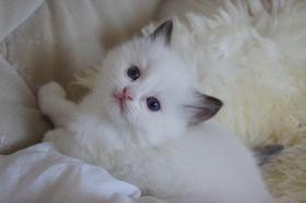 Ragdoll Kitten Joey und Kaine