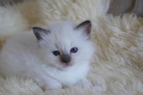Foto 3 Ragdoll Kitten Joey und Kaine
