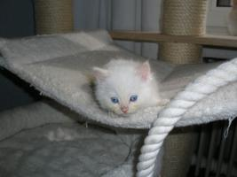 Ragdoll Kitten mit Papiere .