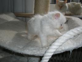 Foto 2 Ragdoll Kitten mit Papiere .