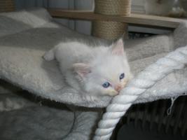 Foto 3 Ragdoll Kitten mit Papiere .