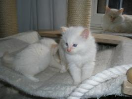 Foto 4 Ragdoll Kitten mit Papiere .