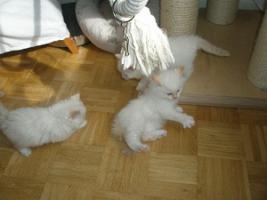 Foto 7 Ragdoll Kitten mit Papiere .