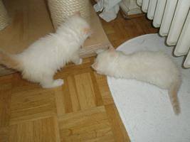 Foto 8 Ragdoll Kitten mit Papiere .