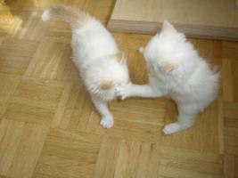 Foto 9 Ragdoll Kitten mit Papiere .