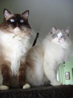 Foto 2 Ragdoll Kitten mit Stammbaum