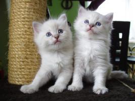 Ragdoll Kitten zu Weihnachnen