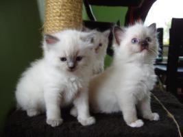 Foto 2 Ragdoll Kitten zu Weihnachnen