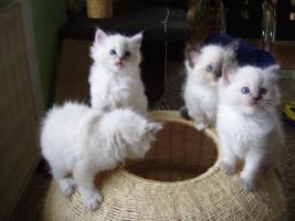 Foto 3 Ragdoll Kitten zu Weihnachnen
