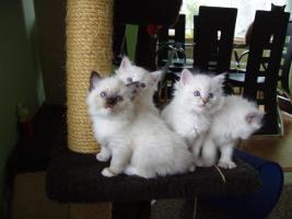 Foto 4 Ragdoll Kitten zu Weihnachnen