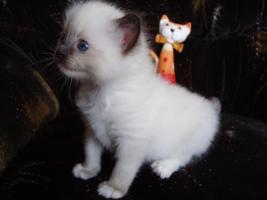 Foto 5 Ragdoll Kitten zu Weihnachnen