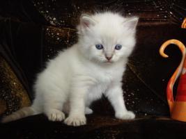 Foto 6 Ragdoll Kitten zu Weihnachnen