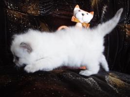 Foto 7 Ragdoll Kitten zu Weihnachnen