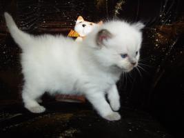 Foto 8 Ragdoll Kitten zu Weihnachnen