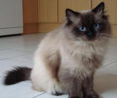 Ragdoll Seal Point Deckkater