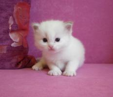 Ragdoll kitten mit Stammbaum