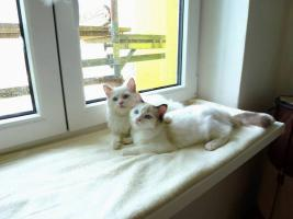 Ragdoll, exklusive Katzenbabys