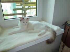 Foto 3 Ragdoll, exklusive Katzenbabys