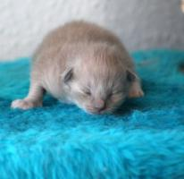 Ragdollkitten in Mink und Point