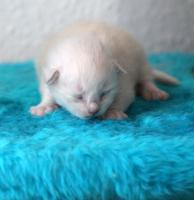 Foto 4 Ragdollkitten in Mink und Point