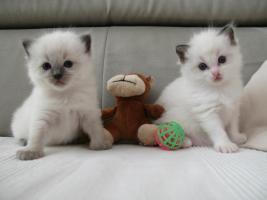 Ragdolls- die Traumkatzen