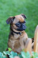 Foto 4 Rarietät Zwerggriffon Brabanter 9 Monate alt