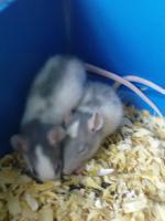 Foto 3 Ratten