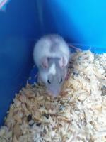 Foto 5 Ratten