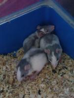 Foto 7 Ratten