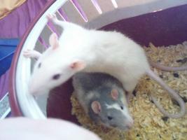 Foto 11 Ratten