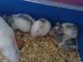 Foto 12 Ratten