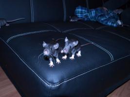 Ratten Böckchen abzugeben