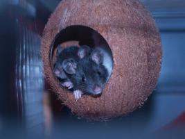 Foto 3 Ratten Böckchen abzugeben