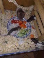 Ratten abzugeben