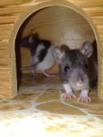 Foto 3 Ratten abzugeben