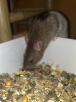 Foto 5 Ratten abzugeben