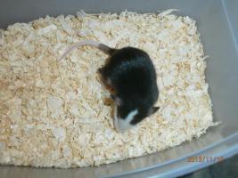 Ratten & Rattenwelpen abzugeben