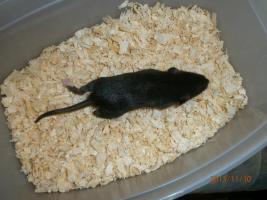 Foto 4 Ratten & Rattenwelpen abzugeben