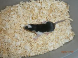 Foto 7 Ratten & Rattenwelpen abzugeben