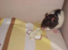 Foto 2 Rattenbabys
