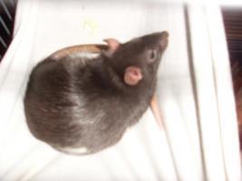 Foto 3 Rattenbabys